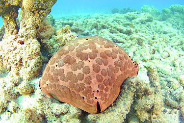Spiny Cushion Star (Culcita schmideliana), Mayotte, Comoros Islands  -  Mathieu Foulquie/ Biosphoto