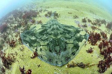 Undulate Ray (Raja undulata), Oleron Island, France  -  Bruno Guenard/ Biosphoto