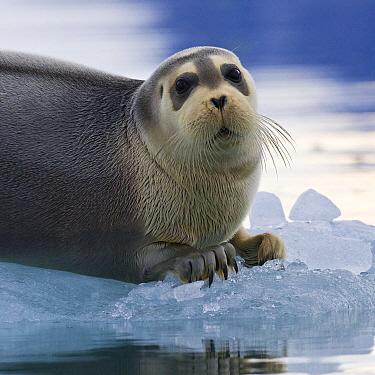Bearded Seal (Erignathus barbatus) on ice, Kongsfjorden, Svalbard, Norway  -  Klein and Hubert