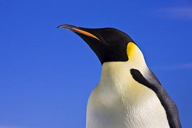 Emperor Penguin (Aptenodytes forsteri) portrait, Antarctica  -  Klein and Hubert