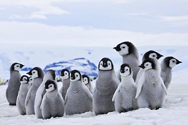Emperor Penguin (Aptenodytes forsteri) chicks on ice, Antarctica  -  Klein and Hubert