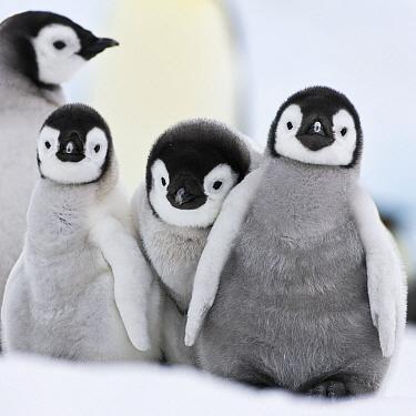 Emperor Penguin (Aptenodytes forsteri) chicks, Antarctica  -  Klein and Hubert