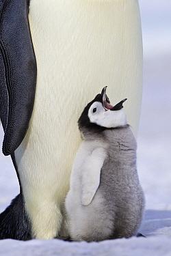 Emperor Penguin (Aptenodytes forsteri) with begging chick, Antarctica  -  Klein and Hubert