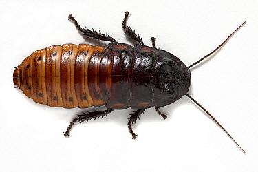 Giant Madagascar Hissing Cockroach (Gromphadorhina portentosa)  -  Michel Gunther/ Biosphoto