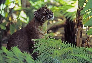 Asian Golden Cat (Pardofelis temminckii), Asia  -  Klein and Hubert