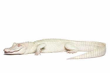 American Alligator (Alligator mississippiensis) albino  -  Michel Gunther/ Biosphoto