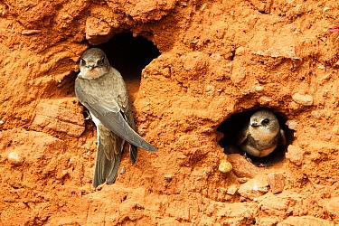 Sand Martin (Riparia riparia) pair at nest entrances, United Kingdom  -  Frederic Desmette/ Biosphoto