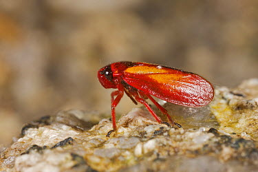 Leafhopper (Cicadellidae) on rock, Andes, Peru  -  Gregory Guida/ Biosphoto