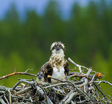 Osprey (Pandion haliaetus) female with chick in nest, Finland  -  David Tipling/ Biosphoto