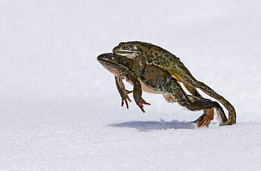 Marsh Frog (Rana ridibunda) pair in amplexus leaping on snow to reach breeding pond, Great Caucasus, Caucasus Mountains, Georgia  -  David Tipling/ Biosphoto