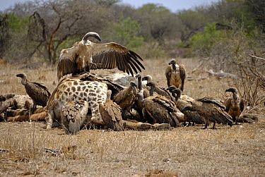 White-backed Vulture (Gyps africanus) group feeding on South African Giraffe (Giraffa giraffa giraffa) carcass, Kruger National Park, South Africa  -  Jean-Yves Grospas/ Biosphoto
