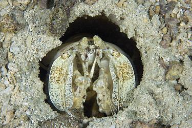 Radar Shrimp (Lysiosquillina maculata) in burrow, Yap, Micronesia  -  Franco Banfi/ Biosphoto