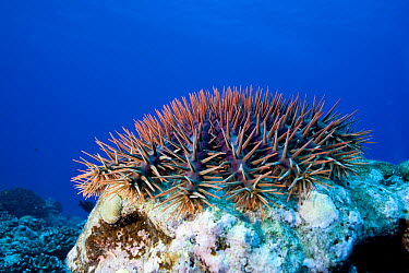 Crown-of-thorns Starfish (Acanthaster planci) feeding on hard coral, Moorea, French Polynesia  -  Franco Banfi/ Biosphoto