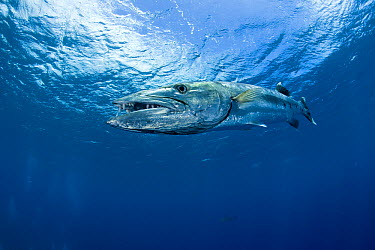 Great Barracuda (Sphyraena barracuda), Moorea, French Polynesia  -  Franco Banfi/ Biosphoto