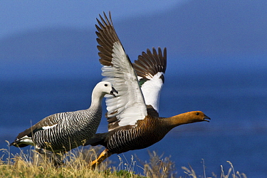 Upland Goose (Chloephaga picta) pair taking flight, Tierra del Fuego National Park, Argentina  -  Klein and Hubert