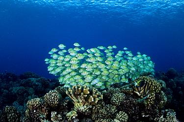 Convict Surgeonfish (Acanthurus triostegus) school, Manihi Atoll, Tuamotu Islands, French Polynesia  -  Franco Banfi/ Biosphoto
