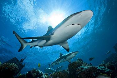Grey Reef Shark (Carcharhinus amblyrhynchos) pair swimming over reef, Manihi Atoll, Tuamotu Islands, French Polynesia  -  Franco Banfi/ Biosphoto