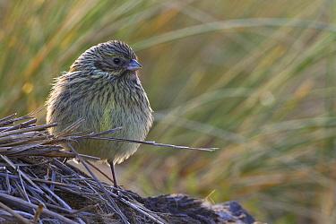 Canary-winged Finch (Melanodera melanodera) female on grass, Falkland Islands  -  Klein and Hubert
