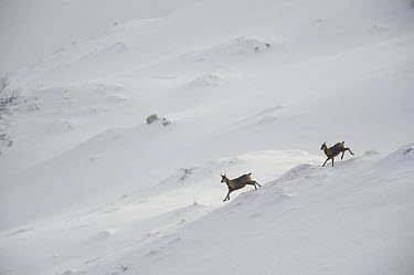 Pyrenean Chamois (Rupicapra pyrenaica) female and young running in snow, Pyrenees, France  -  Jean-Michel Lenoir/ Biosphoto