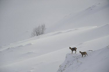 Pyrenean Chamois (Rupicapra pyrenaica) female and young, Pyrenees, France  -  Jean-Michel Lenoir/ Biosphoto