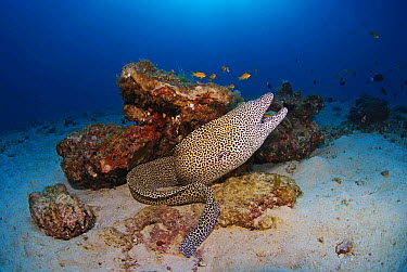 Honeycomb Moray Eel (Gymnothorax favagineus), Radama Islands, Madagascar  -  Jean-Michel Mille/ Biosphoto