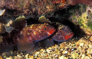 Red-mouthed Goby (Gobius cruentatus) pair, Monaco  -  Jean-Michel Mille/ Biosphoto