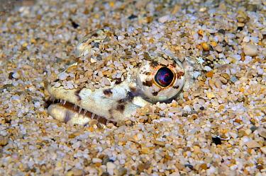 Lizardfish (Synodus sp) buried in sand, Mediterranean Sea, Monaco  -  Jean-Michel Mille/ Biosphoto
