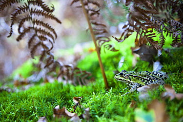 Edible Frog (Rana esculenta) on moss with fern, Brenne, France  -  David Tatin/ Biosphoto