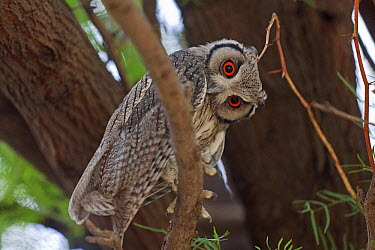Southern White-faced Owl (Ptilopsis granti), Kalahari Gemsbok National Park, South Africa  -  Alain Mafart-Renodier/ Biosphoto