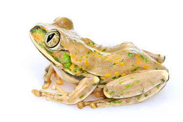 Yellow-spotted Tree Frog (Leptopelis flavomaculatus), Gorongosa National Park, Mozambique  -  Piotr Naskrecki