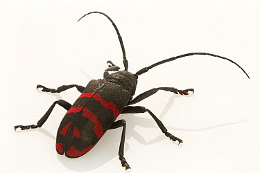 Long-horned beetle showing aposematic coloration, Gorongosa National Park, Mozambique  -  Piotr Naskrecki