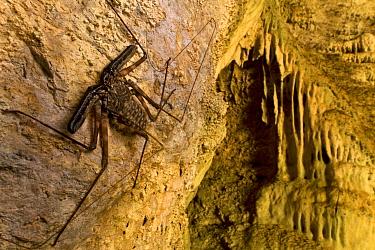 Tailless Whip Scorpion (Daemon variegatus) in cave, Gorongosa National Park, Mozambique  -  Piotr Naskrecki