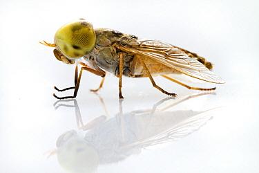 Fly, Gorongosa National Park, Mozambique  -  Piotr Naskrecki