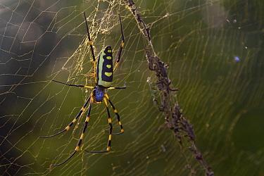 Banded-legged Golden Orb-web Spider (Nephila senegalensis) in web, Gorongosa National Park, Mozambique  -  Piotr Naskrecki