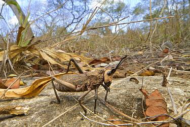 Grasshopper in woodland, Gorongosa National Park, Mozambique  -  Piotr Naskrecki