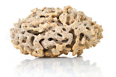 Fungal nest from underground termite colony, Gorongosa National Park, Mozambique  -  Piotr Naskrecki