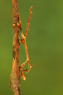 Mantid (Popa sp) mimicking branch, Gorongosa National Park, Mozambique  -  Piotr Naskrecki