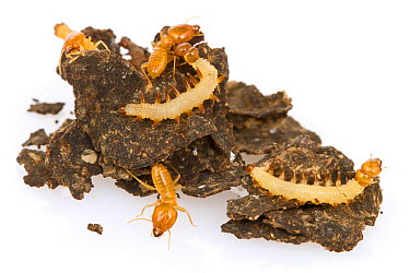 East African Termite (Schedorhinotermes lamanianus) soldiers and Tineid Moth (Paraclystis integer) caterpillars on colony structure, Gorongosa National Park, Mozambique  -  Piotr Naskrecki