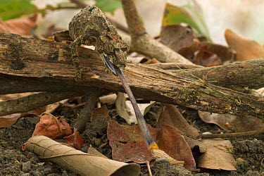Pygmy Mount Gorongosa Chameleon (Rhampholeon gorongosae) catching grasshopper, Gorongosa National Park, Mozambique  -  Piotr Naskrecki
