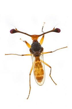 Stalk-eyed Fly (Diasemopsis fasciata), Gorongosa National Park, Mozambique  -  Piotr Naskrecki