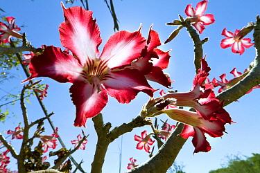 Impala Lily (Adenium multiflorum) flowering, Gorongosa National Park, Mozambique  -  Piotr Naskrecki