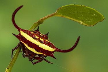 Spiked Spider (Gasteracantha sp), Gorongosa National Park, Mozambique  -  Piotr Naskrecki