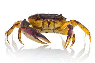 Crab (Potamonautidae), Gorongosa National Park, Mozambique  -  Piotr Naskrecki