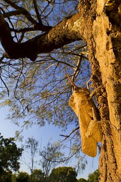 Grasshopper (Lobosceliana cinerascens) male on acacia tree, Gorongosa National Park, Mozambique  -  Piotr Naskrecki