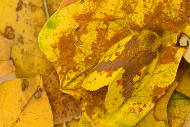 Tent Caterpillar Moth (Chrysopsyche lutulenta) camouflaged on leaf litter in the dry season, Gorongosa National Park, Mozambique  -  Piotr Naskrecki