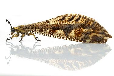Antlion (Myrmeleontidae), Gorongosa National Park, Mozambique  -  Piotr Naskrecki