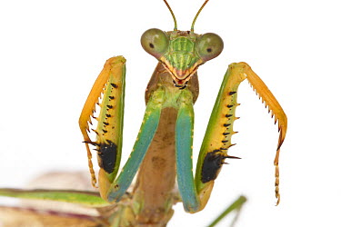 Mantid (Polyspilota sp) in defensive posture, Gorongosa National Park, Mozambique  -  Piotr Naskrecki