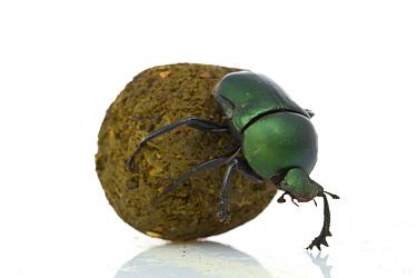 Green Dung Beetle (Garreta Nitens) rolling dung ball, Gorongosa National Park, Mozambique  -  Piotr Naskrecki