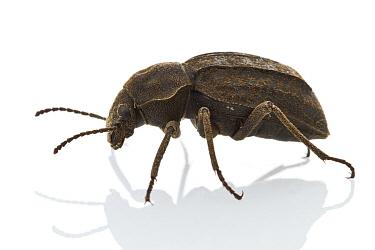 Darkling Beetle (Tenebrionidae), Gorongosa National Park, Mozambique  -  Piotr Naskrecki