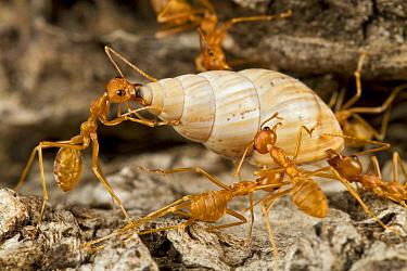 Weaver Ant (Oecophylla sp) group carrying snail to their nest, Gorongosa National Park, Mozambique  -  Piotr Naskrecki